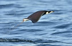 Mobula ray jumping out of the water. Mobula munkiana, known as the manta de monk, Munk`s devil ray, pygmy devil ray, smoothtail m. Obula, is a species of ray in stock photo