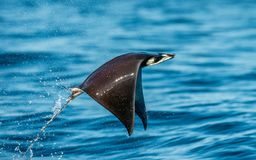 Mobula ray jumping out of the water. Mobula munkiana, known as the manta de monk, Munk`s devil ray, pygmy devil ray, smoothtail. Mobula. Blue ocean background stock photos