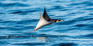 Mobula ray jumping out of the water. Mobula munkiana, known as the manta de monk, Munk`s devil ray, pygmy devil ray, smoothtail. Mobula. Blue ocean background stock photo