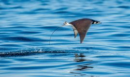 Mobula ray jumping out of the water. royalty free stock photos