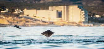 Mobula ray jumping out of the water. Mobula munkiana, known as the manta de monk, Munk`s devil ray, pygmy devil ray, smoothtail. Mobula rays jumping out of the royalty free stock photo