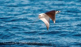 Mobula ray jumping out of the water. Mobula munkiana, known as the manta de monk, Munk`s devil ray, pygmy devil ray, smoothtail. Mobula, is a species of ray in stock photography