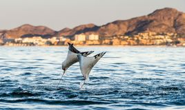 Mobula ray jumping out of the water. Mobula munkiana, known as the manta de monk, Munk`s devil ray, pygmy devil ray, smoothtail mobula, is a species of ray in stock photo