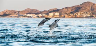 Mobula ray jumping out of the water. Mobula munkiana, known as the manta de monk, Munk`s devil ray, pygmy devil ray, smoothtail mobula, is a species of ray in stock image