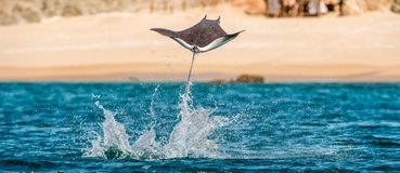Mobula ray jumping out of the water. Mobula munkiana, known as the manta de monk, Munk`s devil ray, pygmy devil ray, smoothtail. Mobula, is a species of ray in royalty free stock photo