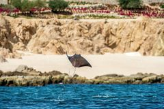 Mobula ray jumping out of the water. Mobula munkiana, known as the manta de monk, Munk`s devil ray, pygmy devil ray, smoothtail. Mobula, is a species of ray in royalty free stock images