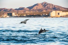 Mobula ray jumping out of the water. stock images