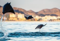 Mobula ray jumping out of the water. Mobula munkiana, known as the manta de monk, Munk`s devil ray, pygmy devil ray, smoothtail. Mobula, is a species of ray in stock photos