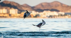 Mobula ray jumping out of the water. Mobula munkiana, known as the manta de monk, Munk`s devil ray, pygmy devil ray, smoothtail mobula, is a species of ray in stock photos