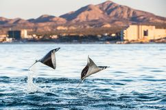 Mobula ray jumping out of the water. royalty free stock images