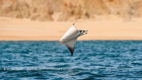 Mobula ray jumping out of the water. Mobula munkiana, known as the manta de monk, Munk`s devil ray, pygmy devil ray, smoothtail mobula, is a species of ray in royalty free stock image