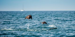 Mobula ray jumping out of the water. royalty free stock photo
