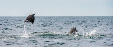 Mobula ray jumping out of the water. Mobula munkiana, known as the manta de monk, Munk`s devil ray, pygmy devil ray, smoothtail. Mobula, is a species of ray in royalty free stock image