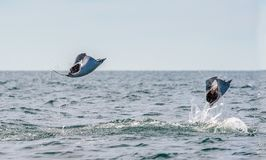 Mobula ray jumping out of the water. royalty free stock image