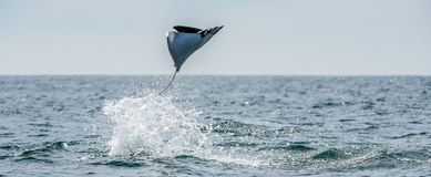 Mobula ray jumping out of the water. stock photo
