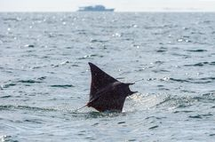 Mobula ray jumping out of the water. Mobula munkiana, known as the manta de monk, Munk`s devil ray, pygmy devil ray, smoothtail mobula, is a species of ray in stock photography