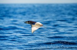 Mobula ray is jumps out of the water. Mexico. Sea of Cortez. California Peninsula . An excellent illustration royalty free stock image