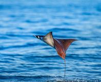 Mobula ray is jumps out of the water. Mexico. Sea of Cortez. Royalty Free Stock Photography