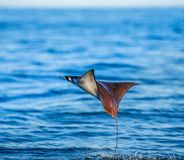 Mobula ray is jumps out of the water. Mexico. Sea of Cortez. Stock Images