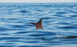Mobula ray is jumps out of the water. Mexico. Sea of Cortez. Royalty Free Stock Photo