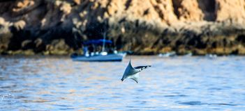 Mobula ray is jumps out of the water. Mexico. Sea of Cortez. California Peninsula . An excellent illustration royalty free stock images