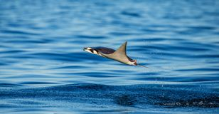 Mobula ray is jumps out of the water. Mexico. Sea of Cortez. California Peninsula . An excellent illustration stock photography