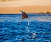 Mobula ray is jumps out of the water. Mexico. Sea of Cortez. California Peninsula . An excellent illustration stock images