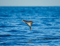 Mobula ray is jumps out of the water. Mexico. Sea of Cortez. Stock Photography