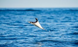 Mobula ray is jumps out of the water. Mexico. Sea of Cortez. Royalty Free Stock Photos