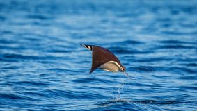 Mobula ray is jumps out of the water. Mexico. Sea of Cortez. Royalty Free Stock Image