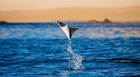 Mobula ray is jumps out of the water. Mexico. Sea of Cortez. California Peninsula . An excellent illustration Royalty Free Stock Photography