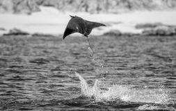 Mobula ray is jumps out of the water. Mexico. Sea of Cortez. Stock Photos