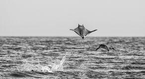 Mobula rays are jumps out of the water. Mexico. Sea of Cortez. California Peninsula . An excellent illustration Royalty Free Stock Photos