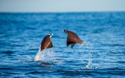 Mobula rays are jumps out of the water. Mexico. Sea of Cortez. royalty free stock image