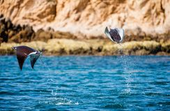 Mobula rays are jumps out of the water. Mexico. Sea of Cortez. Stock Photography