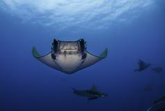 Mobula rays. Underwater vew of mobula rays , Pico Island, Azores, Portugal stock image