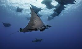 Mobula rays. Underwater vew of mobula rays , Pico Island, Azores, Portugal royalty free stock image