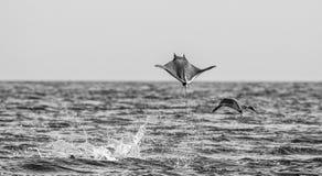 Mobulastrålar är hopp ut ur vattnet mexico Hav av Cortez Royaltyfria Foton