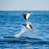 Mobulastrålar är hopp ut ur vattnet mexico Hav av Cortez Arkivfoton
