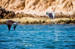Mobulastrålar är hopp ut ur vattnet mexico Hav av Cortez Arkivbild