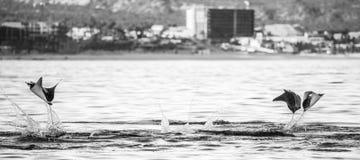 Mobulastrålar hoppar i bakgrunden av staden av Cabo San Lucas mexico Hav av Cortez Arkivfoton