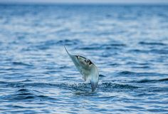 Mobulastrålen är hopp ut ur vattnet mexico Hav av Cortez Arkivfoto