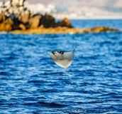 Mobulastrålen är hopp ut ur vattnet mexico Hav av Cortez Royaltyfri Bild