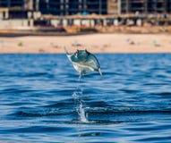 Mobulastrahl springt in den Hintergrund des Strandes von Cabo San Lucas mexiko Meer von Cortez lizenzfreie stockfotos