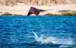 Mobulastrahl springt in den Hintergrund des Strandes von Cabo San Lucas mexiko Meer von Cortez lizenzfreies stockbild
