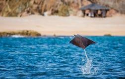 Mobulastrahl springt in den Hintergrund des Strandes von Cabo San Lucas mexiko Meer von Cortez lizenzfreies stockfoto