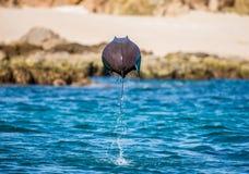 Mobulastrahl springt in den Hintergrund des Strandes von Cabo San Lucas mexiko Meer von Cortez stockfotos