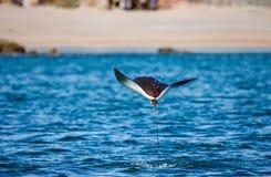 Mobulastrahl springt in den Hintergrund des Strandes von Cabo San Lucas mexiko Meer von Cortez stockfotografie
