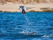 Mobulastrahl springt in den Hintergrund des Strandes von Cabo San Lucas mexiko Meer von Cortez lizenzfreie stockfotografie