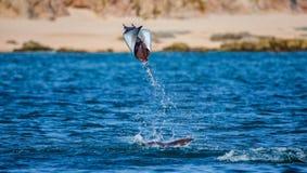 Mobulastrahl springt in den Hintergrund des Strandes von Cabo San Lucas mexiko Meer von Cortez stockbild